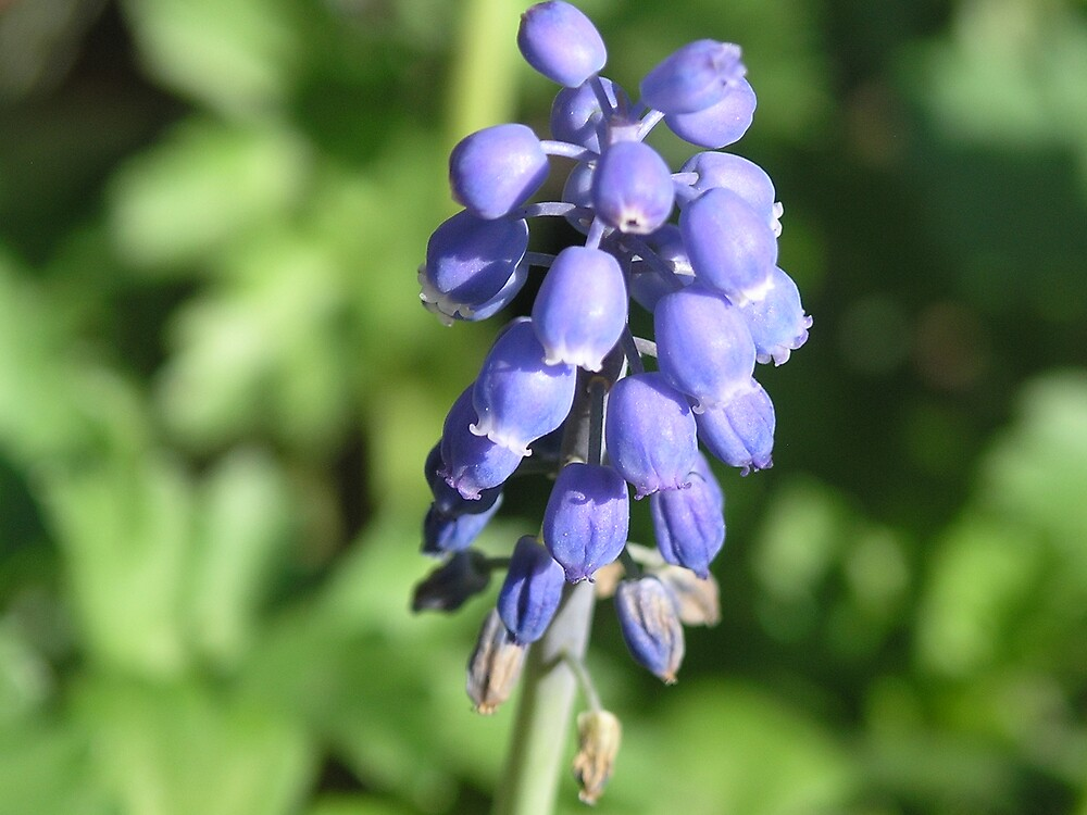 Grape Hyacinth by Ratfingers