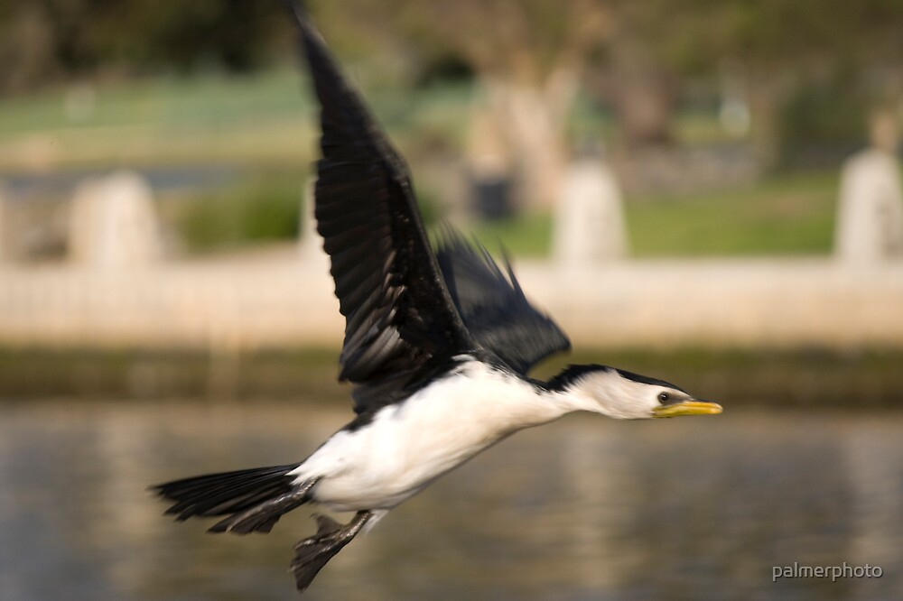 Darter Bird in Flight by palmerphoto