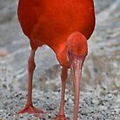 Crimson Ibis by palmerphoto
