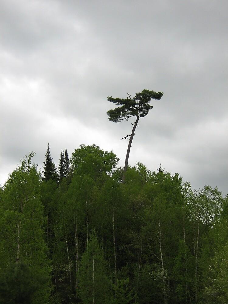 tall tree by Jessica  Taylor-Cassan