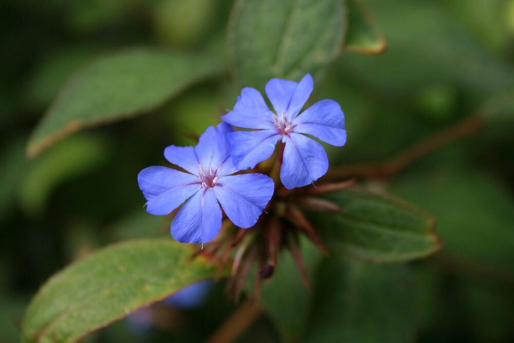 Blue by Norma Blackburn
