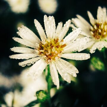Asters by apricotcoffee