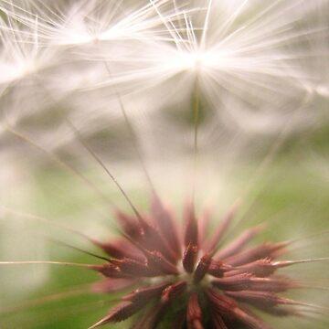 Dandelion by apricotcoffee