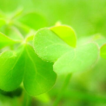 Clover is for good luck by apricotcoffee