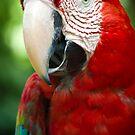 Scarlet Macaw by palmerphoto