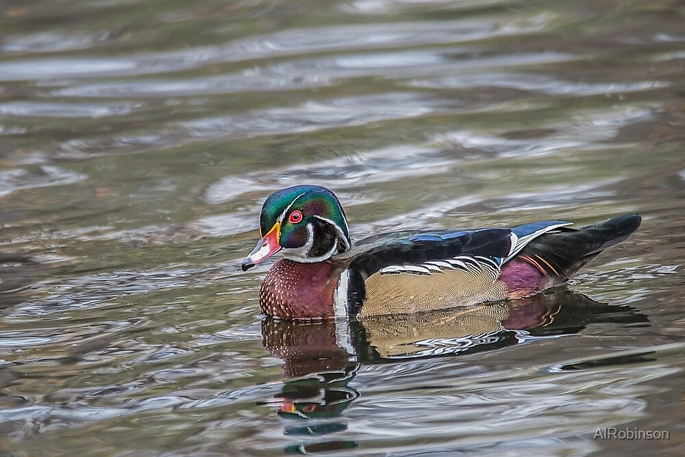male wood duck by AlRobinson