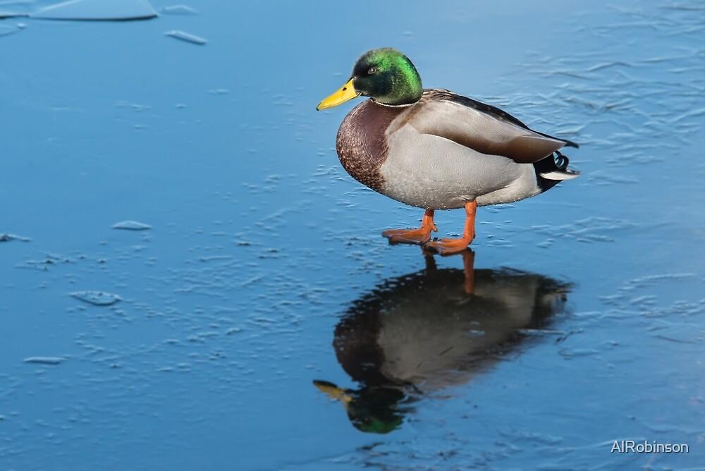 male mallard duck on ice by AlRobinson