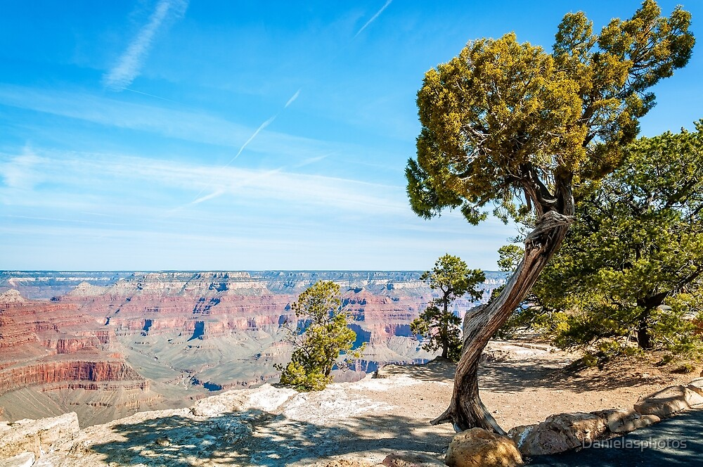 Windswept juniper tree at Hopi Point in Grand Canyon by Danielasphotos