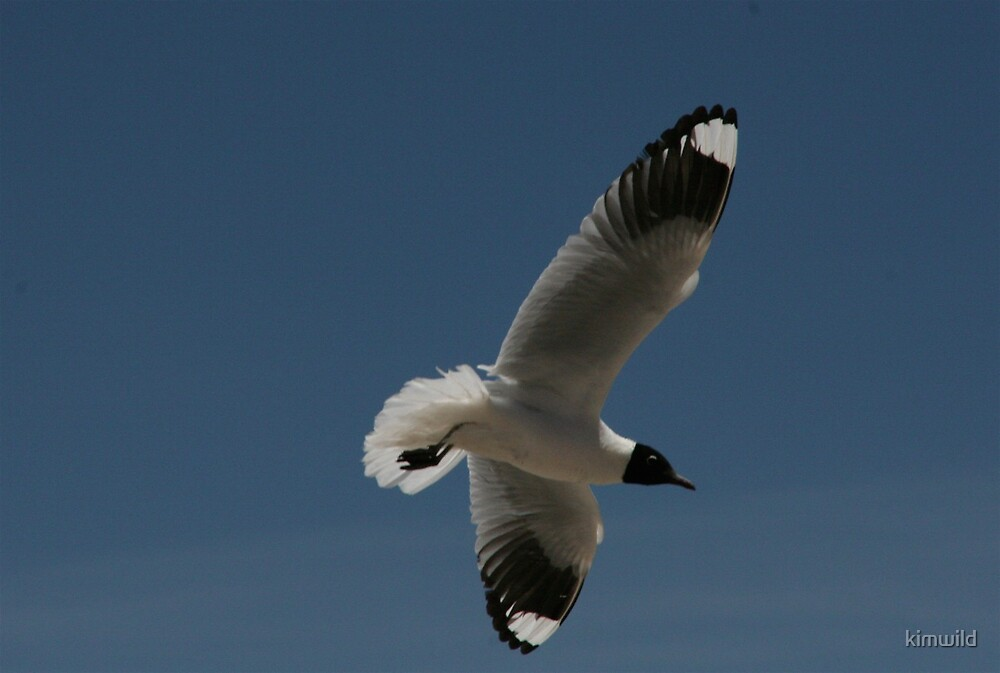 Bolivian Seagull  by kimwild