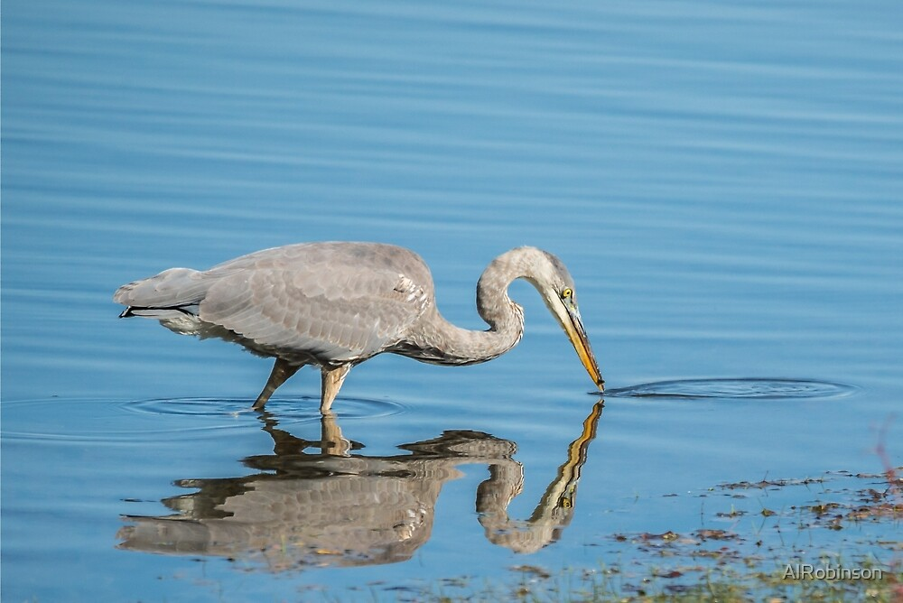 great blue heron fishing by AlRobinson