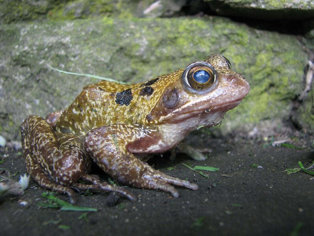 Garden Frog by Sue Morhall