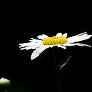 Daisy by Luis Correia