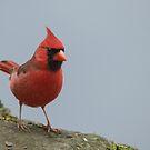 male northern cardinal by AlRobinson