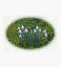 Tough little Snowdrops...........Lyme Dorset UK Photographic Print