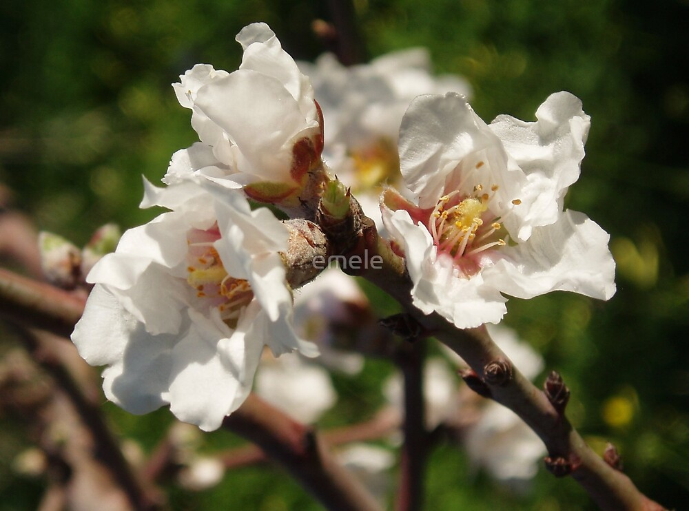 Almond Blossom by emele