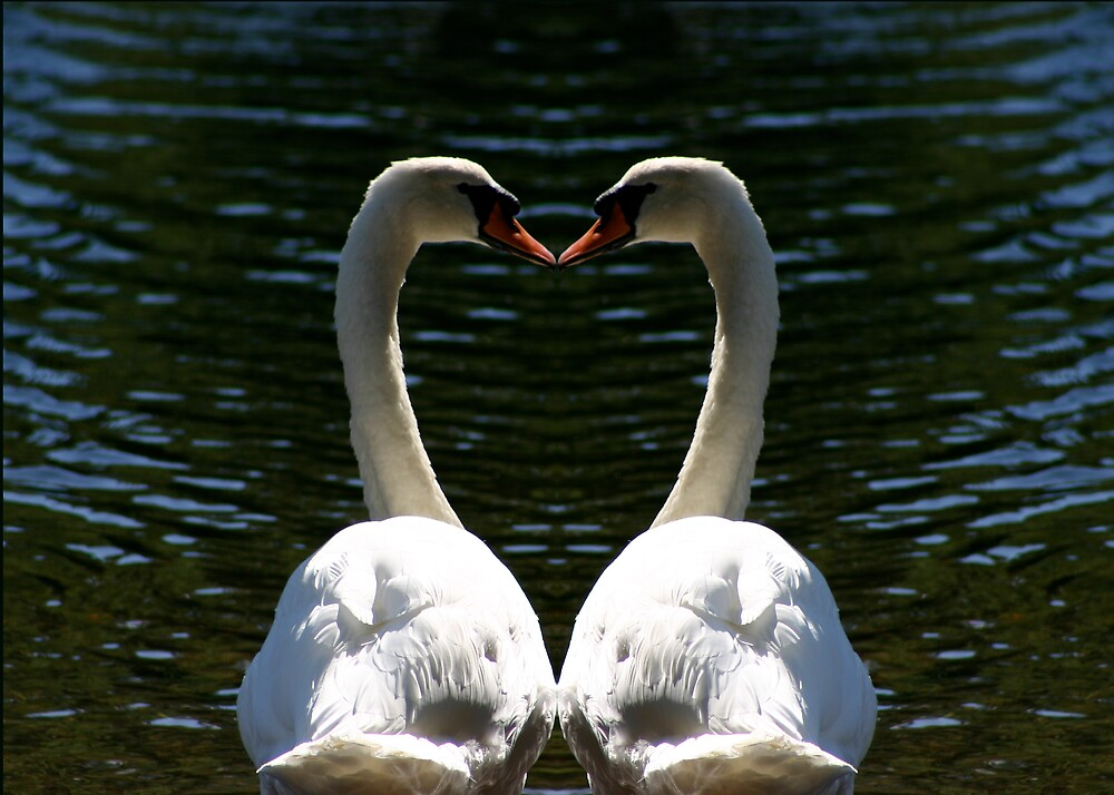 Valentine swans by garyrowl