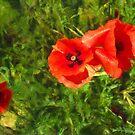 Poppies by jean-louis bouzou