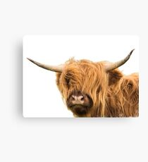 Highland Cow in Colour Canvas Print