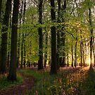 Pathway Through Sunset Bluebell Woods by George Wheelhouse
