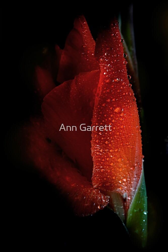 Rain Drenched Gladiolus by Ann Garrett