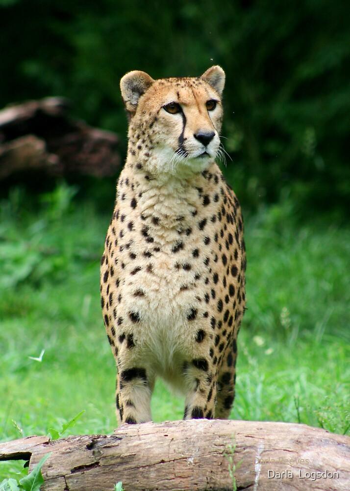 Cheetah by Darla  Logsdon