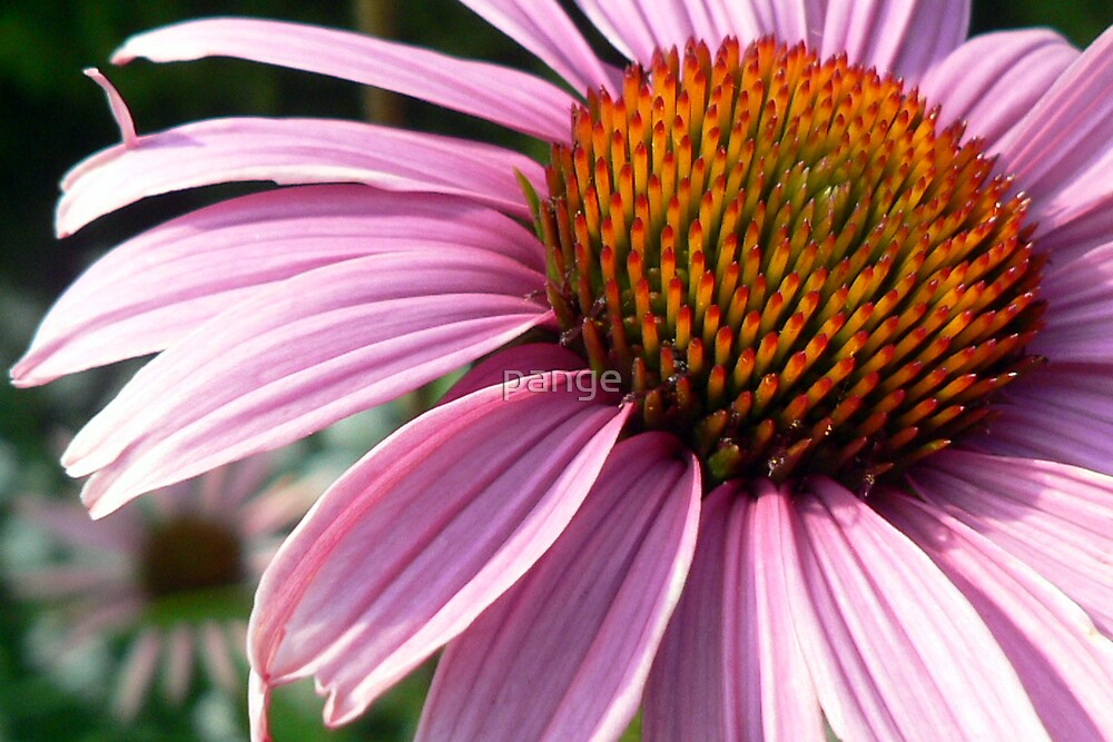 Imperfect Petals by pange