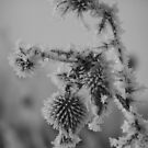 Frozen Thistle  by Gregory Colvin