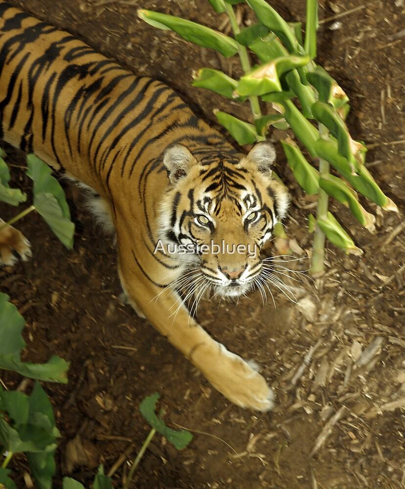 Sumatran Tigress. by Aussiebluey