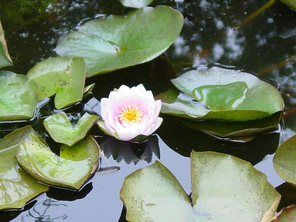 Flower in Pond by suelucat