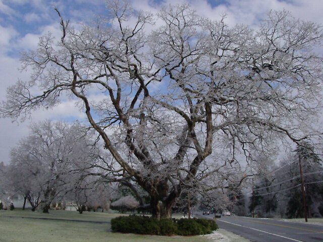 Very Old tree Ice 2007 by suelucat