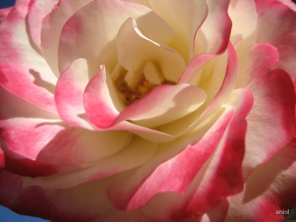 Rose by aniol