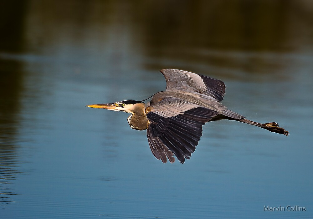 Great Blue Heron X by Marvin Collins