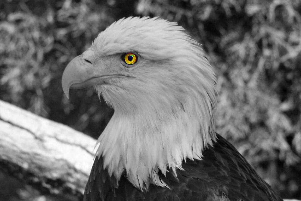 Bald Eagle  by Karl H. Betz