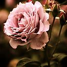 Rose Blooms at Dusk by Jessica Jenney