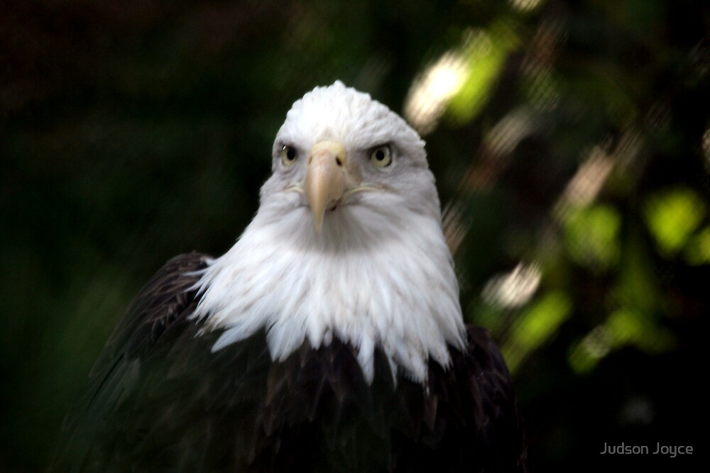 American Bald Eagle by Judson Joyce