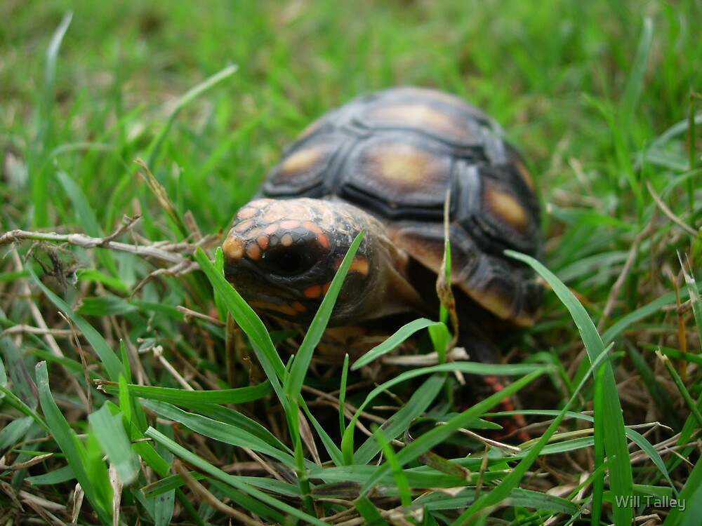 Red-Footed Tortoise by Will Talley
