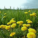 Dandelion Field In Spring by farmbrough