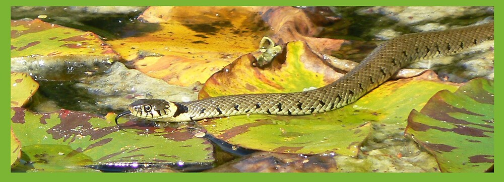 Grass Snake at Courts by avocet
