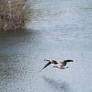 Flying Canada Geese, Jersey City, New Jersey by lenspiro