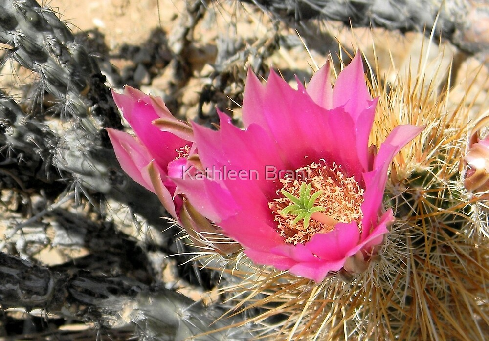 Bright Pink Cactus Flower by Kathleen Brant