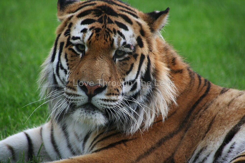 Tiger  by Love Through The Lens