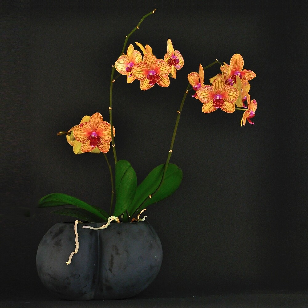 Orchid by Thomas Barker-Detwiler