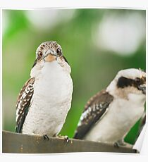 Kookaburra gracefully resting during the day. Poster