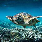 Turtle by Steve Bass