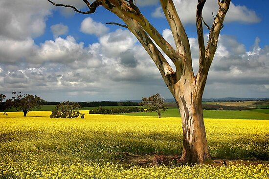 1504 Tree in Canola Field by Hans Kawitzki