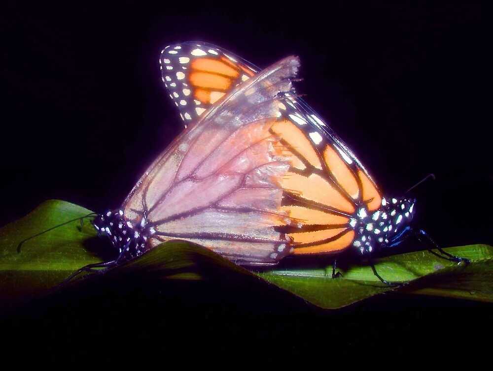 Monarch Butterflies by wendylou4