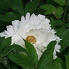 White Peony by Monnie Ryan