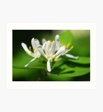 Honeysuckle Flower Art Print