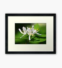 Honeysuckle Flower Framed Print