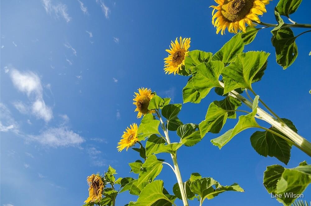 Sunflowers by Lee Wilson